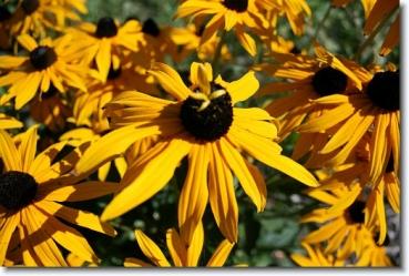 Rudbeckia fulgida sullivantii 'Goldsturm' Leuchtender Garten-Sonnenhut