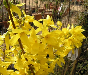Forsythia intermedia 'Week-End'  - Forsythie 'Week-End', 80-100 cm