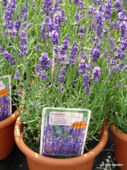 Lavandula angustifolia 'Hidcote Blue' Tiefviolettblühender Lavendel