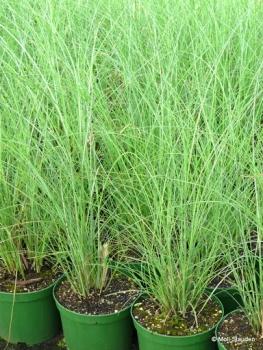 Miscanthus sinensis 'Gracillimus' Garten-Chinaschilf, Garten-Landschilf