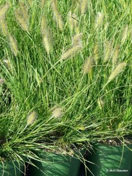 Pennisetum alopecuroides 'Hameln' Garten-Federborstengras