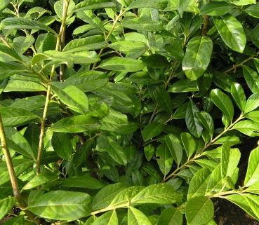 Prunus lauroc.'Genolia' - Lorbeerkirsche 'Genolia', 40-60 cm
